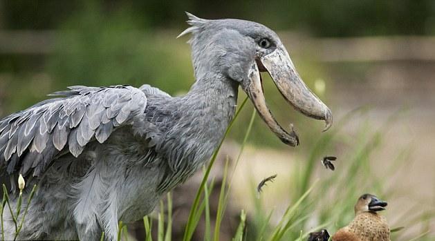 shoebill-duck2